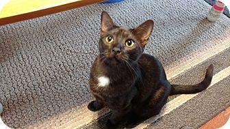 Domestic Shorthair Cat for adoption in Smithfield, North Carolina - Bagheera