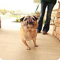Adopt A Pet :: Mr. Pugg - Lancaster, OH
