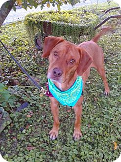 Beagle/Golden Retriever Mix Dog for adoption in Paducah, Kentucky - Carrot Top (Cary)