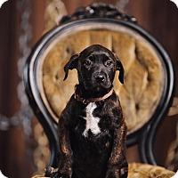 Adopt A Pet :: Norma - Portland, OR