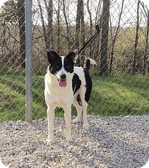 Border Collie Mix Dog for adoption in Atchison, Kansas - Kristoff