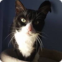 Domestic Shorthair Cat for adoption in Springfield, Vermont - Brooke