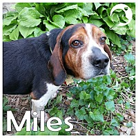 Adopt A Pet :: Miles - Pittsburgh, PA