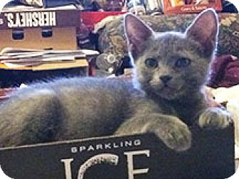 Russian Blue Kitten for adoption in Metairie, Louisiana - Nadia