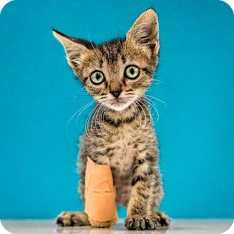 Domestic Shorthair Kitten for adoption in Chandler, Arizona - Darla