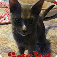 Russian Blue Cat for adoption in Chandler, Arizona - Sasha