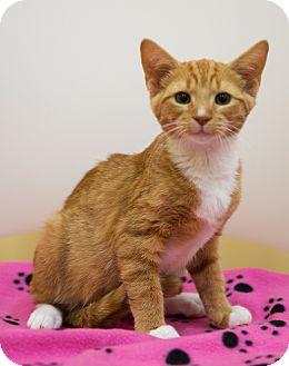 Domestic Shorthair Kitten for adoption in Mooresville, North Carolina - A..  Orsona