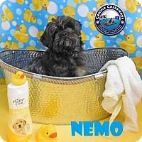 Adopt A Pet :: Nemo - Arcadia, FL