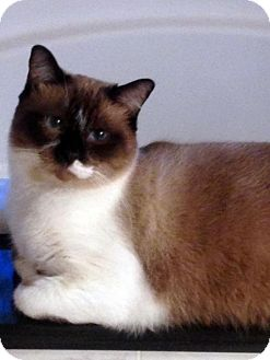 Siamese Cat for adoption in Alvin, Texas - Bentley