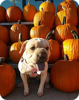 Pug/Shar Pei Mix Dog for adoption in Charlotte, North Carolina - Genesis
