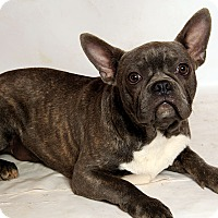 French Bulldog/Boston Terrier Mix Dog for adoption in St. Louis, Missouri - Pierre (Nemo) Frenchton