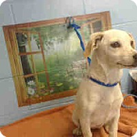 Chihuahua Mix Dog for adoption in San Bernardino, California - URGENT ON 10/18 San Bernardino