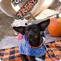 Adopt A Pet :: SAMUEL - Phoenix, AZ