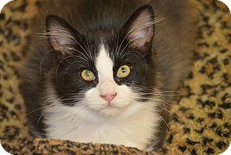 Domestic Mediumhair Kitten for adoption in San Leon, Texas - Spencer