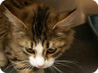 Domestic Mediumhair Cat for adoption in Missoula, Montana - CHAMP