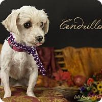 Adopt A Pet :: Cendrilon - Kirkland, QC