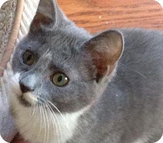 Domestic Shorthair Cat for adoption in Newtown Square, Pennsylvania - Lotti