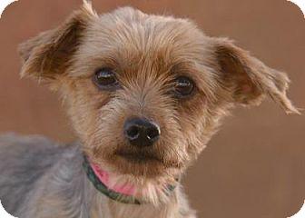 Yorkie, Yorkshire Terrier Dog for adoption in Colorado Springs, Colorado - Cassi