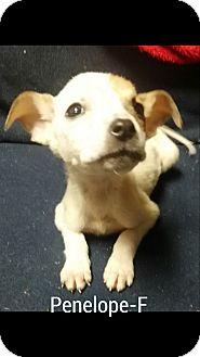 Boxer Mix Puppy for adoption in Burlington, Vermont - Penelope
