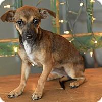 Adopt A Pet :: Vixen - San Antonio, TX