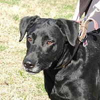 Labrador Retriever Dog for adoption in Sussex, New Jersey - STAR