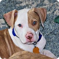 Adopt A Pet :: Chuckie - Sunnyvale, CA