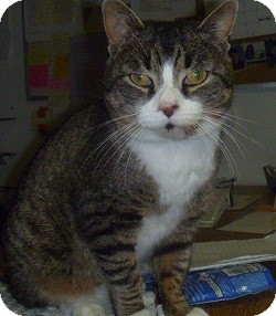 Domestic Shorthair Cat for adoption in Hamburg, New York - Marble