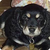 Adopt A Pet :: Limerick - Novi, MI