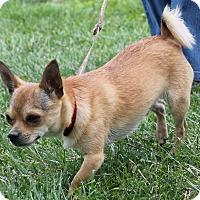 Adopt A Pet :: Dingo - Byrdstown, TN