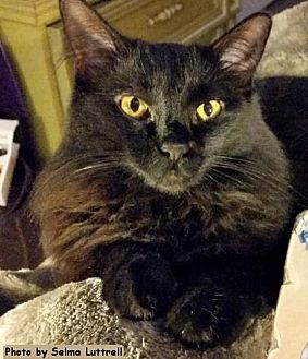 Domestic Mediumhair Cat for adoption in Oak Ridge, Tennessee - Godiva
