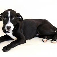 Adopt A Pet :: Annabelle - Bloomington, MN