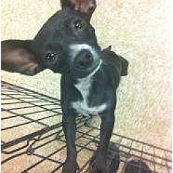 Photo 2 - Chihuahua/Terrier (Unknown Type, Small) Mix Dog for adoption in Fowler, California - Lisa