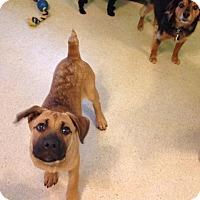 Adopt A Pet :: Julie Bean - Fayetteville, AR