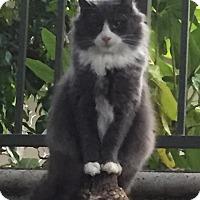 Adopt A Pet :: PrettyGirl - Alhambra, CA