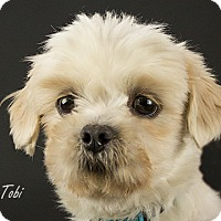 Adopt A Pet :: Tobi is Reserved - Kirkland, QC