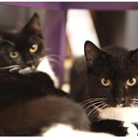 Adopt A Pet :: Georgie & Gracie - Westwood, NJ