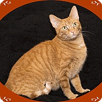 Adopt A Pet :: Pumpkin - Mt. Prospect, IL