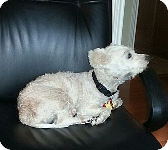 Poodle (Miniature) Mix Dog for adoption in Dallas, Texas - Misty