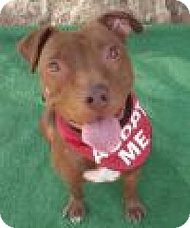 Staffordshire Bull Terrier Mix Dog for adoption in Beverly Hills, California - Ruby Sue