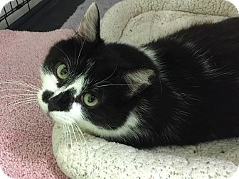 Domestic Shorthair Cat for adoption in Topeka, Kansas - Saige