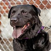 Adopt A Pet :: Bear - Brooklyn, NY