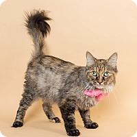 Domestic Longhair Cat for adoption in Wyandotte, Michigan - Farrah