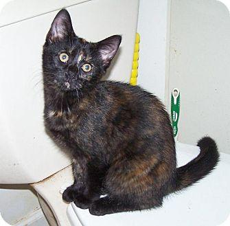 Domestic Shorthair Kitten for adoption in Hedgesville, West Virginia - Cassie