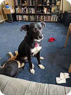 Border Collie Mix Dog for adoption in Saskatoon, Saskatchewan - Shmi-Adopted