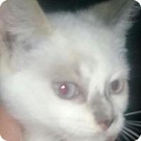 Snowshoe Kitten for adoption in Devon, Pennsylvania - LA-sugar (courtesy listing)