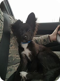 Papillon/Chihuahua Mix Puppy for adoption in Sawyer, North Dakota - Driller