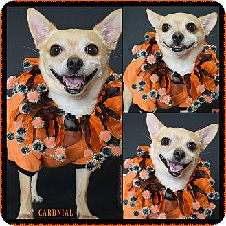 Chihuahua Mix Dog for adoption in Phoenix, Arizona - Cardinal