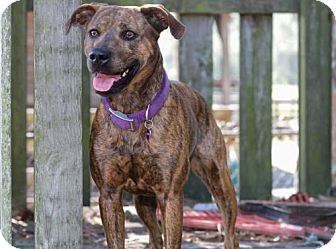 Boxer Mix Dog for adoption in Plant City, Florida - Daisy Mae