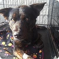 Adopt A Pet :: Drake - Gainesville, FL