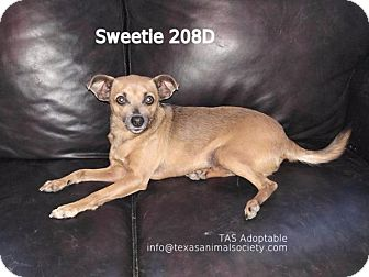 Chihuahua/Dachshund Mix Dog for adoption in Spring, Texas - Sweetie